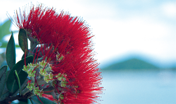 The cheerful red blooms of the Pohutukawa tree appear just before Christmas © Elite Images