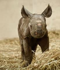 Rhino born in UK Zoo