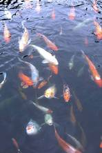 Grief and goldfish: How illegally smuggling 13 pet fish symbolised a journey from Naples to the New World