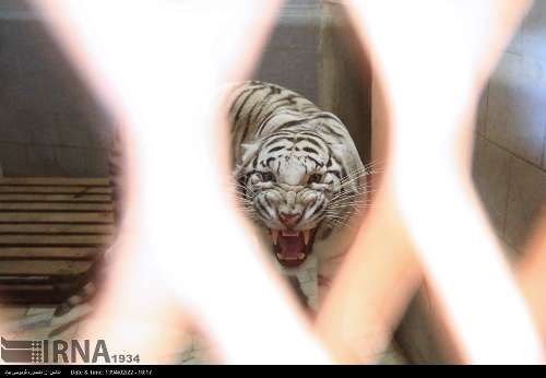 Iran imports first White tiger from Germany
