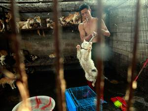 A slaughterhouse butcher transfers a cat to a cage, to be handed off to Peter Li. Shortly after, Li rescued the cat from the slaughterhouse