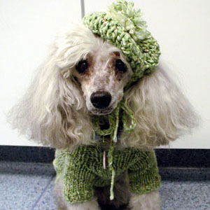 Miniature Poodle dog named Silver Siren