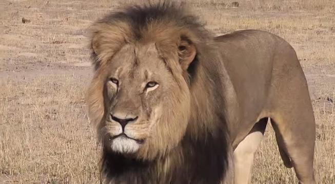 La belleza del león Cecil era innegable