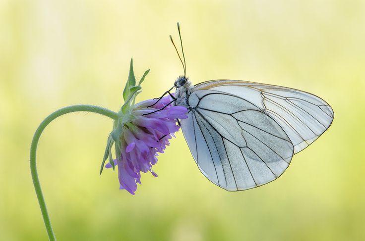 Aporia crataegi (white-veined butterfly)
