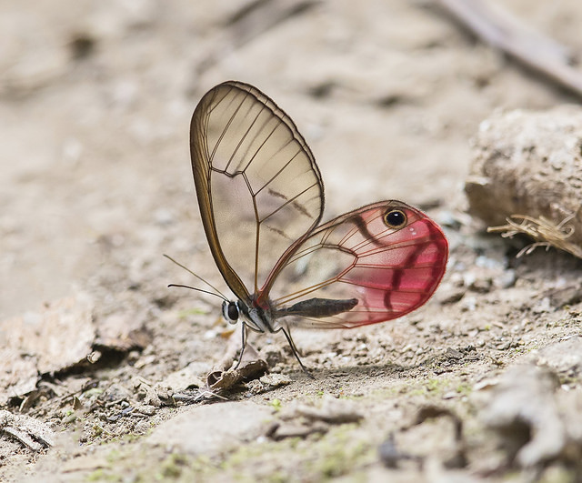 Clear-winged Cithaerias Pireta walking on ground-Unknown Butterfly Facts Article