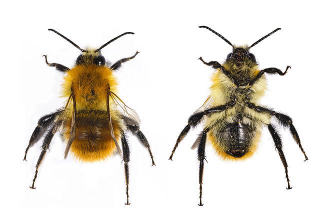 Common carder bee (Bombus pascuorum Scapoli 17...