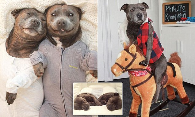 Darren and Phillip the English Staffordshire terriers become social media stars