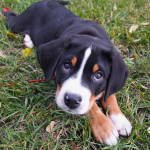 greater-swiss-mountain-dog