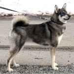swedish-elkhound