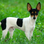 touy-fox-terrier