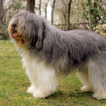polish-lowland-sheepdog