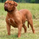 nebolish-mastiff