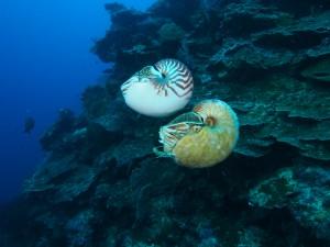 Nautilus pompilius swimming above Allonautilus scrobiculatus off the coast of Ndrova Island in Papua New Guinea.