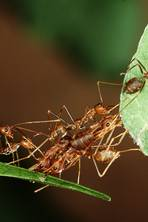 Farmers in tropical forests are training ants to kill off bigger pests