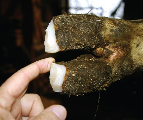 The same hoof after trimming.