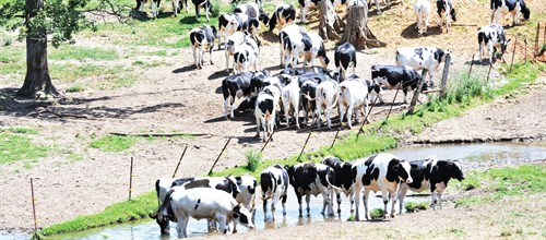 herd of cattle drinking water