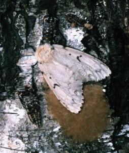Insects like the gypsy moth come in cycles. When populations are rising, it's often prudent to avoid thinning and harvesting.  Photo by Hannes Lemme/Bugwood.org.