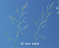Canadian rice-grass
