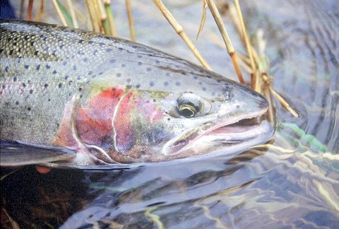 Don Roberts Photo - Rogue River Summer Steelhead Fly Fishing, Oregon Fly Fishing