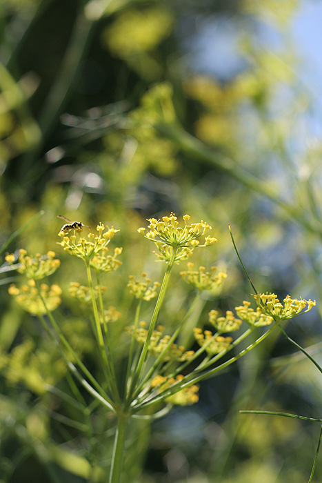 wild fennel flower head