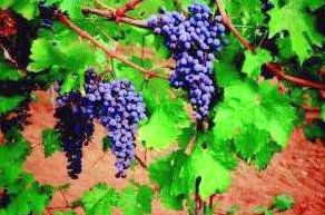Wine, Tours, Tasting, Rogue, Umpqua, Applegate, Illinois , vineyard, vineyards