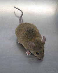 Mice-200x250