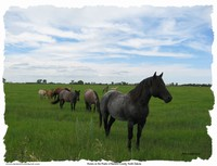 Horses on the prairie of Ransom County, North Dakota