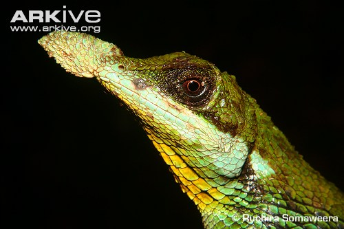 Tennent's leaf-nosed lizard photo