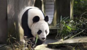 Giant Panda Tian Tian at  Edinburgh Zoo
