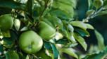 Plant guide: Fruit trees