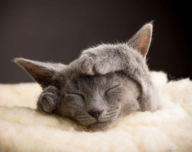 Adorable russian kitten sleeping with her hands on head