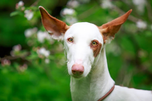 Ibizan Hound Dog with brown ears