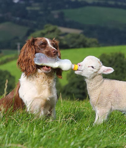 Adorable shepherd Feeding milk to a lamb
