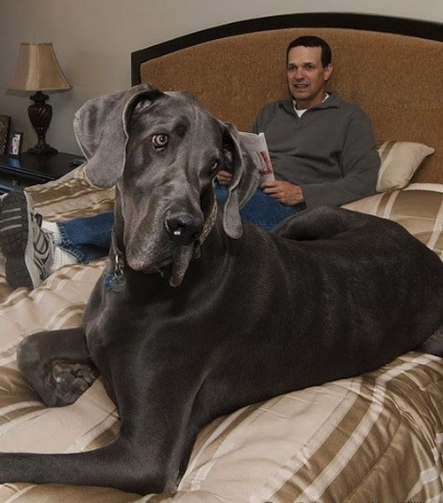World's biggest dog sitting with his master