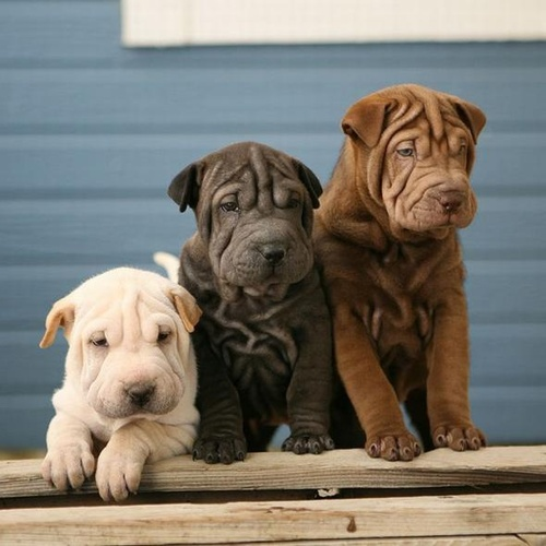 Amazing Shar Pei puppies sitting together