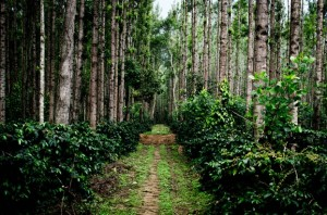 Coffee plantations in Chickmagalur, India