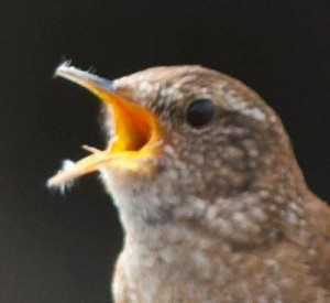 Wren Winter Singing crop