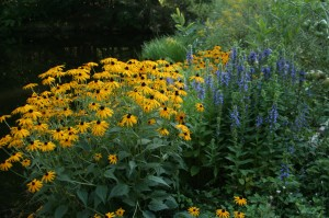 Rudbeckia and Blue Lobelia (Lobelia siphilitica) are easy to grow from seed sown when they ripen on the plant.