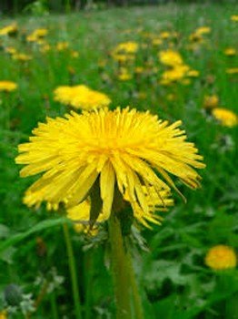 Some weeds like dandelions are actually edible.