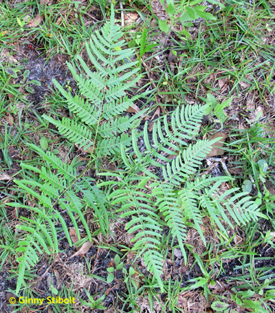 Bracken ferns have a triply pinnate triangular frond.