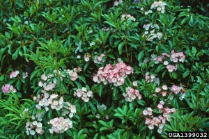 Mountain laurel  Photo credit:  Manfred Mielke, USDA Forest Service, Bugwood.org
