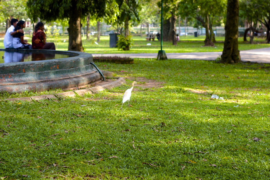 Stork walking in a park Colombo, Sri Lanka