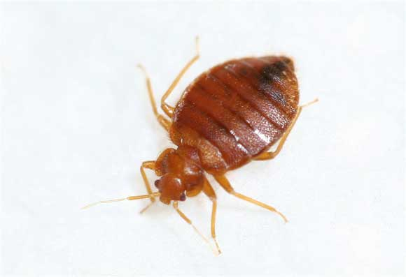 How big are bed bugs? This big. Actually, 5 mm.