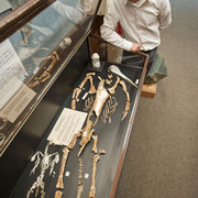 Dr. Daniel Ksepka, Curator of Science at the Bruce Museum, examines Kairuku fossils. Photograph by R.E.  Fordyce.