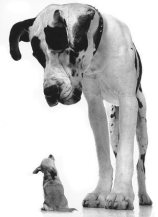 Great-Dane-and-Chihuahua--C11759689