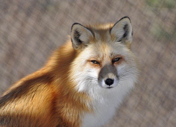 Call of the Fox: What Sound Does a Red Fox Make?