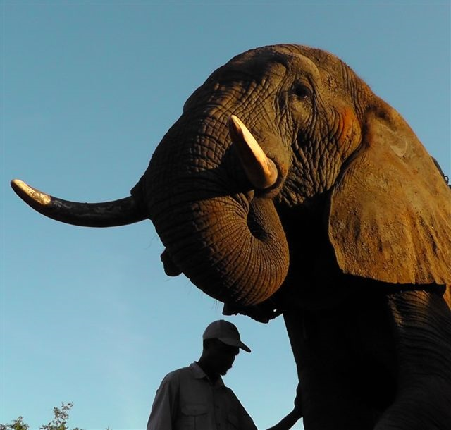 Elephants Understand Pointing Better Than Chimps