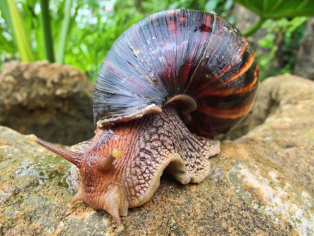 Giant African Land Snails and the Rat Lungworm in Florida