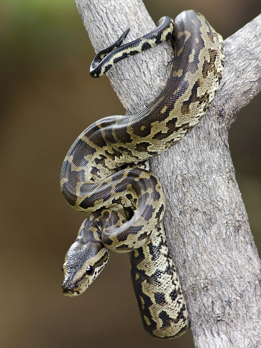 Wild Animals are Dangerous: Should We Keep Pythons as Pets?