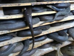 眼镜蛇 (3)